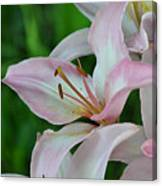 Pale Stargazer Lillies I 2010 Canvas Print