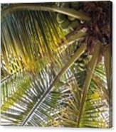 Palm Collection - Coconuts Are Fine Canvas Print