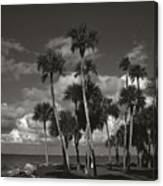 Palm Group In Florida Bw Canvas Print