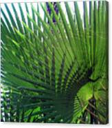 Palm Tree, Big Leafs Canvas Print