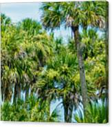 Palmetto Palm Trees In Sub Tropical Climate Of Usa Canvas Print