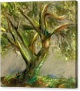 Palo Verde Canvas Print