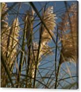 Pampas Grass At Sunset Canvas Print
