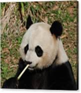 Panda Bear Eating Bamboo Shoots Up Close And Personal Canvas Print