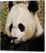Panda Bear Eating Some Yummy Bamboo Shoots Canvas Print