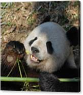 Panda Bear Laying On His Back And Eating Bamboo Canvas Print