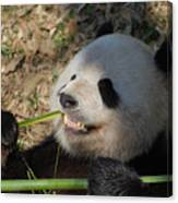 Panda Bear Showing His Teeth As He Munches On Bamboo Canvas Print