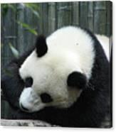 Panda Bear Sleeping On A Fallen Tree Branch Canvas Print