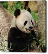 Panda Bear With Teeth Showing While He Was Eating Bamboo Canvas Print
