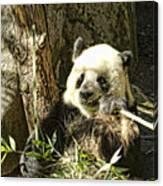 Panda Breakfast Canvas Print