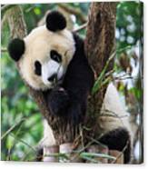 Panda Cub Resting On Tree Canvas Print