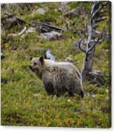 Panda In Many Glacier Canvas Print