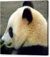 Panda Snack Canvas Print