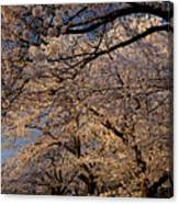 Panorama Of Forest Of Sakura Japanese Flowering Cherry Trees Wit Canvas Print