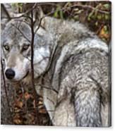 Panoramic Gray Wolf Yukon Canvas Print