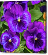 Pansies In Purple And Blue Canvas Print