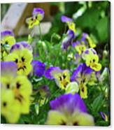 Pansy Bed Canvas Print