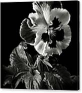 Pansy In Black And White Canvas Print