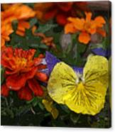 Pansy Play Canvas Print