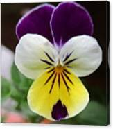 Pansy White Wings Canvas Print