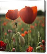 Papaver Rhoeas Canvas Print