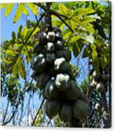 Papayas On A Tree Canvas Print