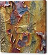 Paperbark Maple   Canvas Print