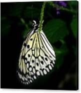Paperwhite Butterfly Canvas Print