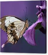 Papilio Dardanus On Violet Flowers Canvas Print
