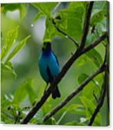 Paradise Tanager Canvas Print