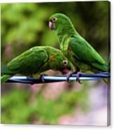 Parakeet Couple Canvas Print