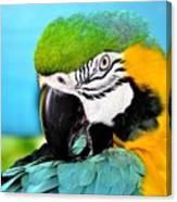 Parrot Time 3 Canvas Print