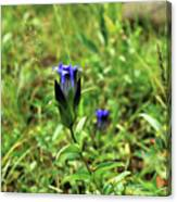 Parry's Mountain Gentian Canvas Print