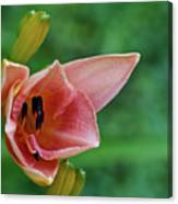 Partially Open Pink Lily Blossom Canvas Print