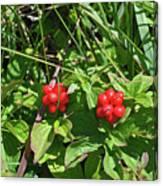 Partridgeberries Canvas Print