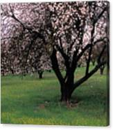 Paso Robles Orchard Canvas Print