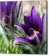 Pasque Flower Duo Canvas Print