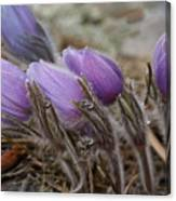 Pasque Flower Watercolor Canvas Print