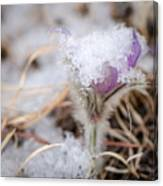 Pasqueflower In The Snow Canvas Print