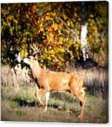 Passing Buck In Autumn Field Canvas Print
