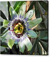 Passion Flower Close-up Canvas Print