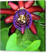 Passion Flower Ver. 15 Canvas Print