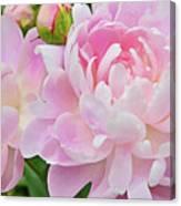 Pastel Pink Peonies Canvas Print