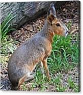 Patagonian Cavy IIi Canvas Print