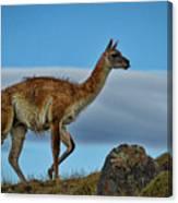 Patagonian Guanaco - Chile Canvas Print
