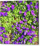 Patch Of Pansies Canvas Print