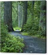 Path Through The Cedars Canvas Print