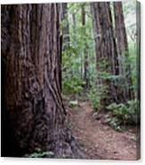 Pathway Through A Redwood Forest On Mt Tamalpais Canvas Print
