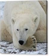 Polar Bear Patience Canvas Print
