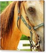 Patient Horse Canvas Print
